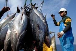 Thí điểm khai thác, tiêu thụ cá ngừ theo chuỗi ảnh 1