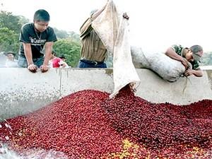Gia hạn cho vay tín dụng xuất khẩu cà phê ảnh 1