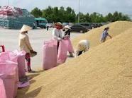 Lúa gạo ĐBSCL: Mất 652 triệu USD/năm ảnh 1