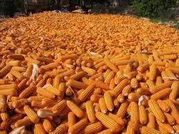 Giá nông sản leo thang do hạn hán Hoa Kỳ ảnh 1