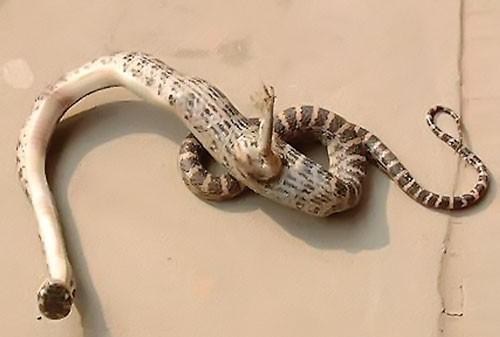 Năm rắn nói chuyện lạ về rắn ảnh 2