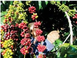 DN XK cà phê: Mong tiếp tục vay ngoại tệ ảnh 1