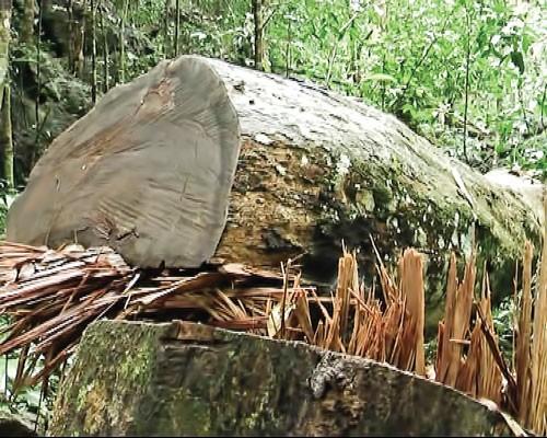 Cuộc chiến gỗ nghiến ảnh 1
