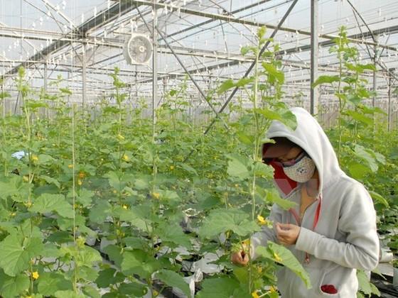 Hà Nội: 64 tỷ đồng phát triển vùng nông nghiệp chuyên canh ảnh 1