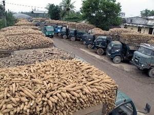 Việt Nam xuất khẩu sắn 2 tỷ USD ảnh 1