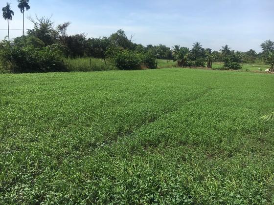 Nông dân trồng rau muống nước không mặn mà VietGAP ảnh 1