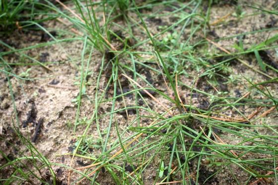 Quảng Ngãi: Người trồng kiệu tết lo lắng vì kiệu bị bệnh mốc sương mai, thối nhũn ảnh 3