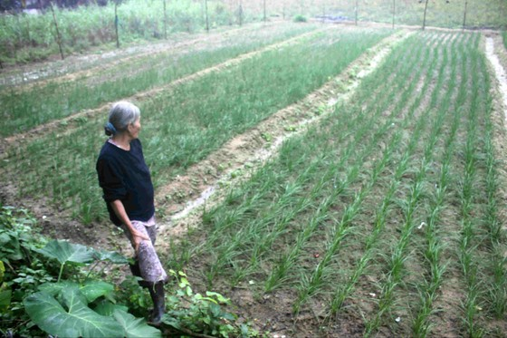 Quảng Ngãi: Người trồng kiệu tết lo lắng vì kiệu bị bệnh mốc sương mai, thối nhũn ảnh 1