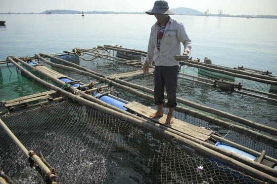 Cá được nuôi lồng bè gần cảng biển. Ảnh: NGUYỄN TRANG