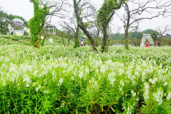 Ngỡ ngàng với thảo nguyên hoa đẹp như cổ tích ven sông Hồng ảnh 2