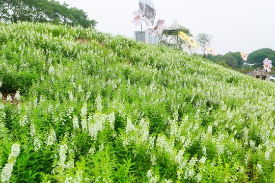 Ngỡ ngàng với thảo nguyên hoa đẹp như cổ tích ven sông Hồng ảnh 5