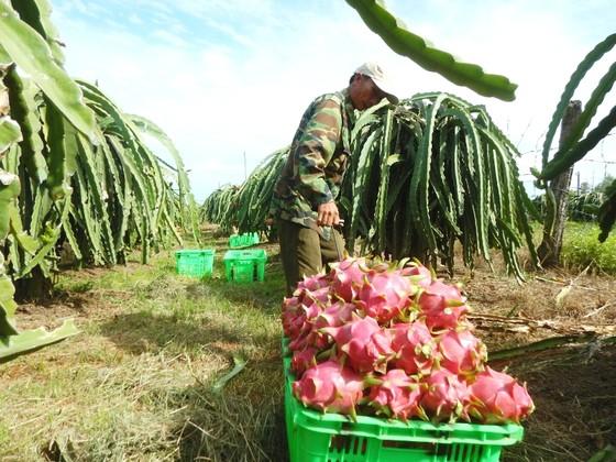 Giá thanh long Bình Thuận trái vụ giảm mạnh, nông dân lỗ nặng ảnh 1