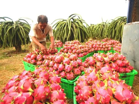 Giá thanh long Bình Thuận trái vụ giảm mạnh, nông dân lỗ nặng ảnh 2