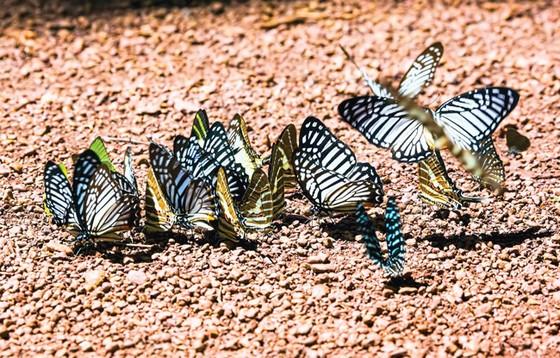Ngắm bướm ở Mã Đà ảnh 3