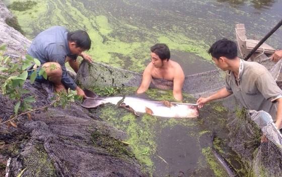 Những con cá 'khủng' đang được nuôi dưỡng đặc biệt thế nào? - ảnh 2