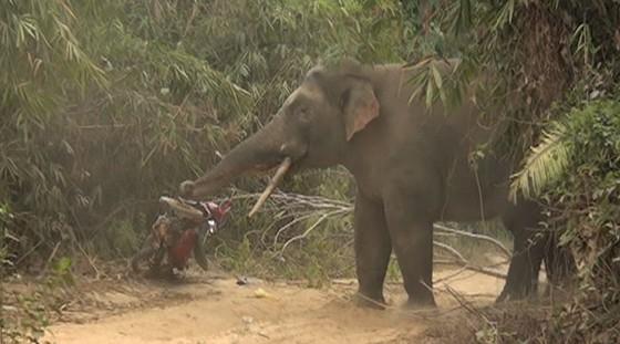 Đàn voi rừng 7 con ở Quảng Nam tái xuất - ảnh 1