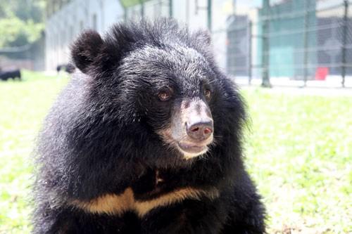 Hoàn tất dự án Trung tâm Cứu hộ gấu Việt Nam ảnh 2