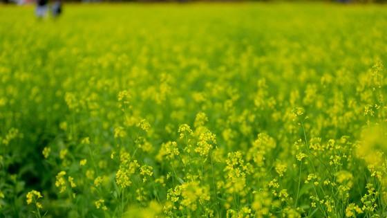 Cánh đồng hoa cải rực rỡ trong nắng đông ảnh 7