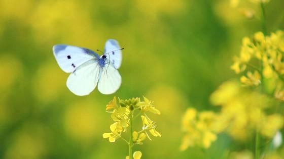 Cánh đồng hoa cải rực rỡ trong nắng đông ảnh 6