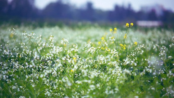 Cánh đồng hoa cải rực rỡ trong nắng đông ảnh 5