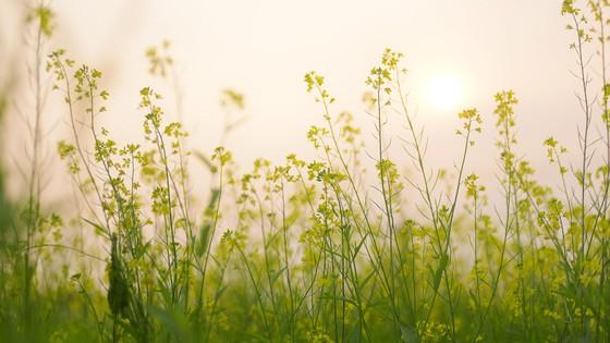 Cánh đồng hoa cải rực rỡ trong nắng đông ảnh 2