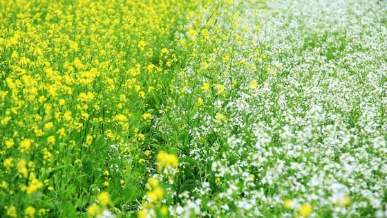 Cánh đồng hoa cải rực rỡ trong nắng đông ảnh 3