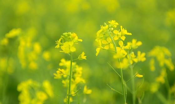 Cánh đồng hoa cải rực rỡ trong nắng đông ảnh 1