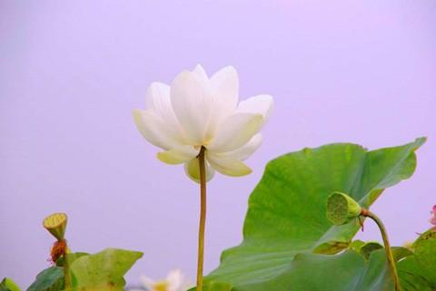 Chiêm ngưỡng khu đầm 12 loại sen quý gần Hà Nội ảnh 3