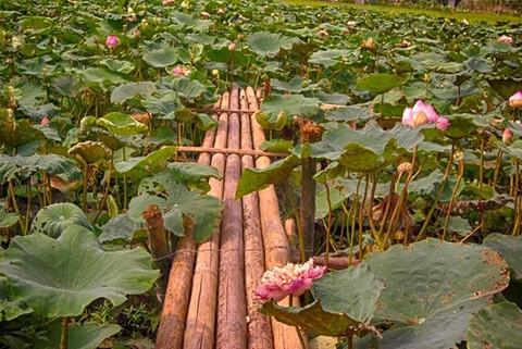 Chiêm ngưỡng khu đầm 12 loại sen quý gần Hà Nội ảnh 13