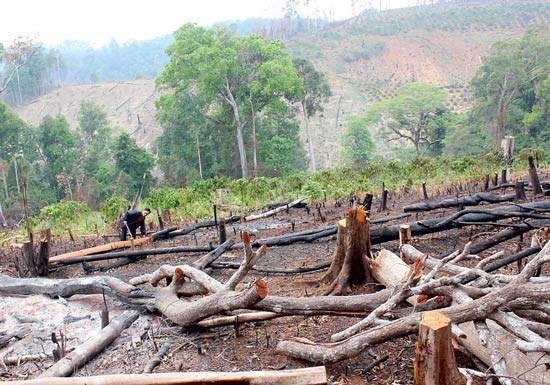 Bắt nhiều giám đốc, phó giám đốc công ty lâm nghiệp để mất rừng ảnh 2
