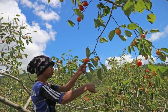 Rộn ràng mùa trái hồng ở Đà Lạt ảnh 2