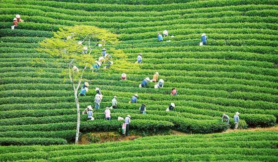 Khám phá vùng trà gần 100 năm ở Đà Lạt ảnh 1