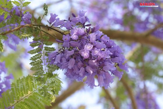 Đà Lạt đẹp mộng mơ trong khung trời hoa phượng tím ảnh 11