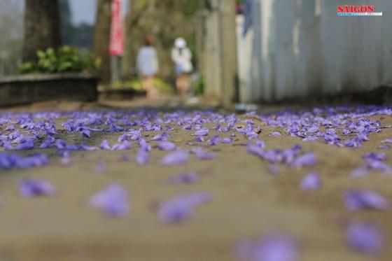 Đà Lạt đẹp mộng mơ trong khung trời hoa phượng tím ảnh 7