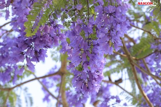 Đà Lạt đẹp mộng mơ trong khung trời hoa phượng tím ảnh 10