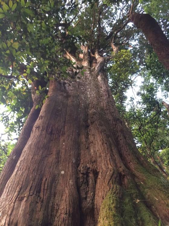 Hà Tĩnh: Phát hiện cây pơ mu 'khủng' tại Vườn quốc gia Vũ Quang ảnh 3