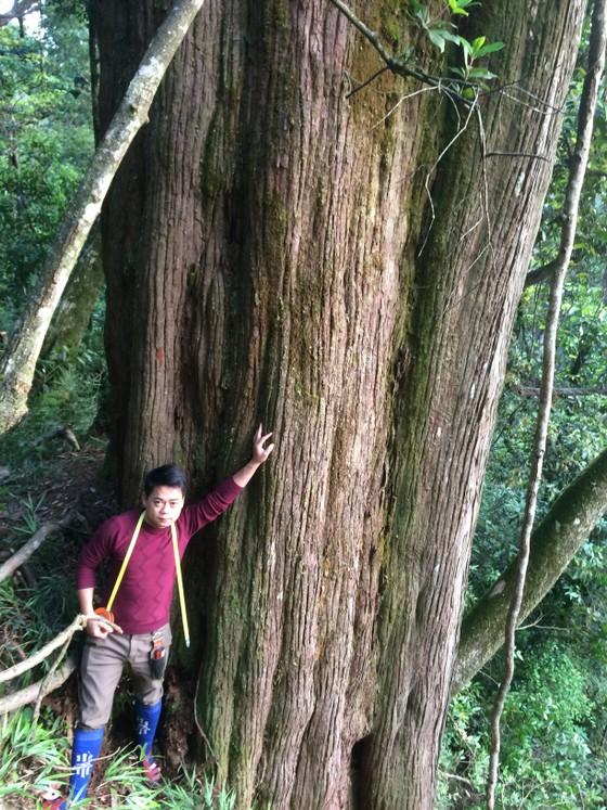 Hà Tĩnh: Phát hiện cây pơ mu 'khủng' tại Vườn quốc gia Vũ Quang ảnh 2
