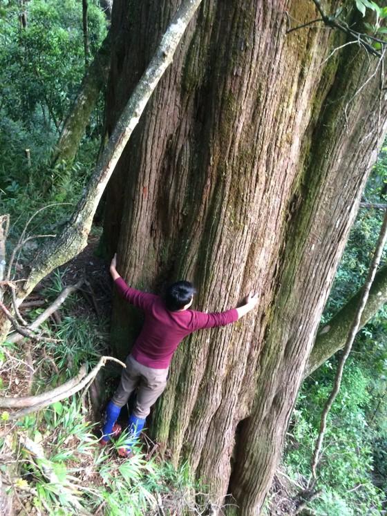 Hà Tĩnh: Phát hiện cây pơ mu 'khủng' tại Vườn quốc gia Vũ Quang ảnh 1