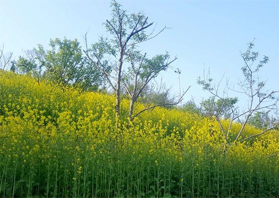 Tôi thấy hoa vàng trên đồi xanh Fansipan ảnh 1