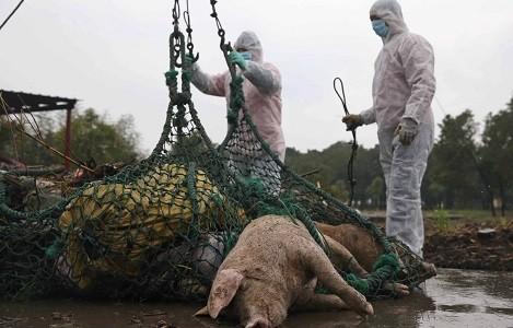 Trung Quốc tiêu hủy lợn nhiễm bệnh dịch tả châu Phi. Nguồn: SCMP.COM