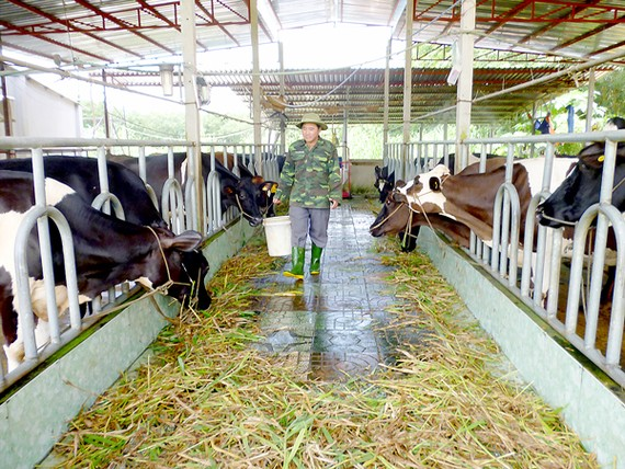 A cattle farm in Cu Chi applies technology (Photo: SGGP)