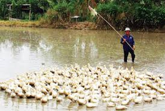 Farmers are told to stop ducks from roaming in summer-fall crop to avoid bird flu (Photo: SGGP)