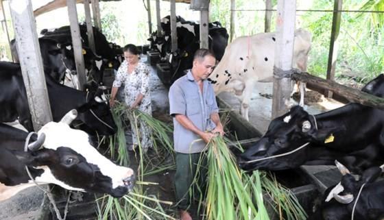 Milk cows are bred in Cu Chi (photo: SGG)