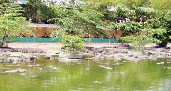 Breeding crocodiles in Suoi Tien Park in HCMC (Photo: SGGP)