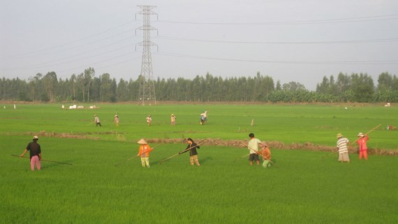 Farmers in Dong Thap are taking care of the summer-fall crop (Photo: SGGP)