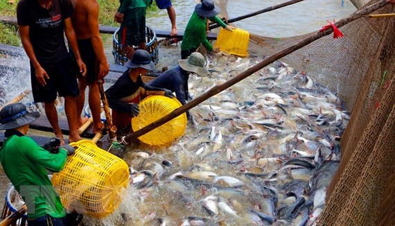 Harvesting tra fish in the Mekong Delta (Photo: VNA)
