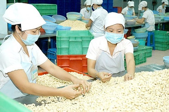 Workers are processing cashew for export (Photo: SGGP)