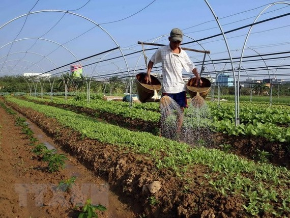 A farmer waters vegetables in Hoa Vang district, Da Nang city (Photo: VNA)