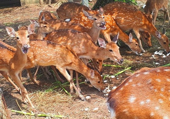 Deer breeders in central mountainous district Huong Son in the central province of Ha Tinh  earn more thanks to selling velvet antler (Photo: SGGP)