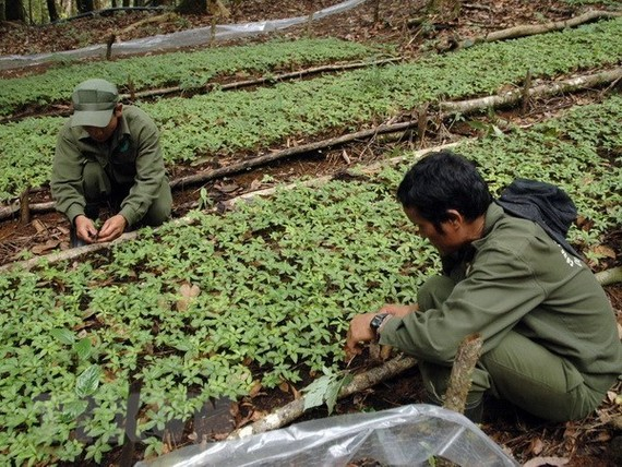 A garden of Ngoc Linh ginseng seedlings of the Dak To Forestry Co. Ltd (Photo: VNA)